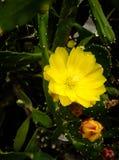 Żółty kłującej bonkrety kwiat Fotografia Royalty Free