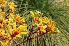 Żółty kangur łapy kwiatu Anigozanthos pulcherrimus przed grasstree fotografia stock