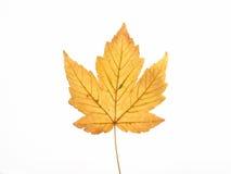 Żółty klonów liściach zdjęcie royalty free