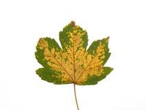 Żółty klonów liściach obrazy stock