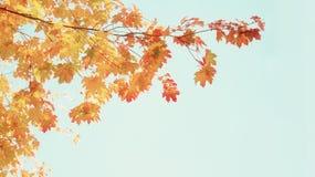 Żółty klon w jesień parku Zdjęcie Royalty Free