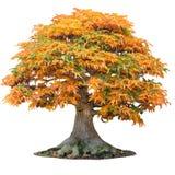 Żółty klonowego drzewa acer palmatum drzewo trójzębu klon w jesieni shishigashira klonie odizolowywał biel obrazy royalty free