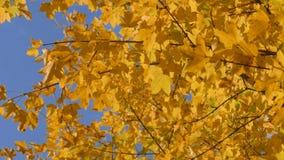 Żółty klonowy luksusowy ulistnienie w pogodnym jesień dniu zdjęcie wideo