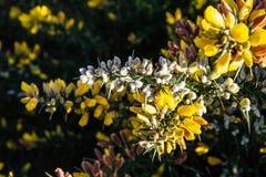 Żółty kolcolist w kwiacie zdjęcia stock