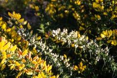 Żółty kolcolist w kwiacie obrazy royalty free