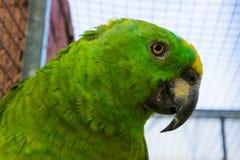 Żółty koronowany Amazon papuzia twarz w zbliżeniu, tropikalny ptak od Amazon basenu zdjęcia stock