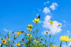 Żółty kosmos kwitnie przeciw jaskrawemu niebieskiemu niebu zdjęcia stock