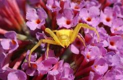 Żółty kraba pająk, Thomisidae Misumena vatia polowanie na Buddleia kwiacie Zdjęcia Stock