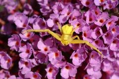 Żółty kraba pająk, Thomisidae Misumena vatia polowanie na Buddleia kwiacie Fotografia Royalty Free