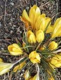 żółty krokus od above Zdjęcia Royalty Free