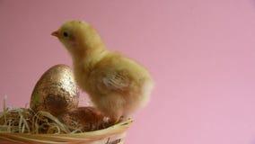 Żółty kurczątko w eggcup z Easter gniazdeczkiem i Easter jajkami zbiory