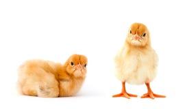 Żółty kurczak Zdjęcia Royalty Free