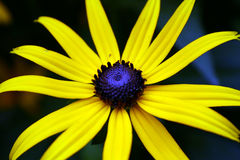 żółty kwiat Obraz Stock