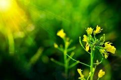 Żółty kwiat bok choy suma w ogródzie, świeży organicznie warzywo Fotografia Royalty Free