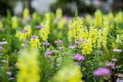 Żółty kwiat, Chaing Mai Zdjęcia Stock