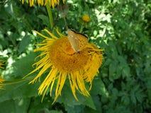 Żółty kwiat i batterfly Obrazy Stock