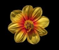 Żółty kwiat i dwa miodowej pszczoły fotografia royalty free