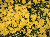 Żółty kwiat jest tła teksturą obraz royalty free