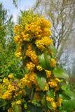 Żółty kwiat mahoni nieociosana roślina Obraz Stock