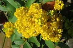Żółty kwiat mahoni nieociosana roślina Obrazy Stock