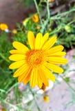 Żółty kwiat na ogródzie Zdjęcia Stock