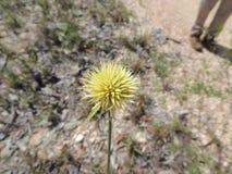 Żółty kwiat od Brazylijskiej sawanny, Cerrado/ zdjęcie stock