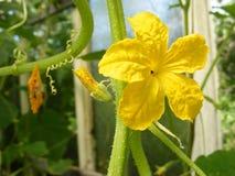Żółty kwiat ogórek z tendrils obraz royalty free
