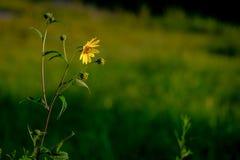 Żółty kwiat Ogląda wschód słońca Fotografia Stock