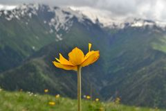 Żółty kwiat otaczający halnymi szczytami zdjęcie stock