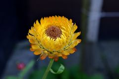 Żółty kwiat, Polska obrazy stock