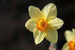 żółty kwiat pomarańczy Zdjęcie Stock