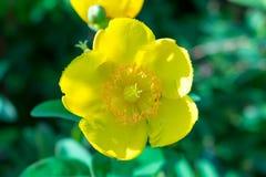 Żółty kwiat w parku miasto fotografia stock