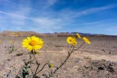 Żółty kwiat w pustyni obraz stock