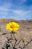 Żółty kwiat w pustyni zdjęcie royalty free