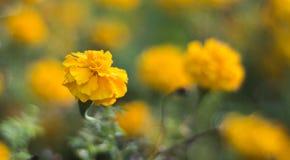 Żółty kwiat z yellowish tłem obrazy royalty free