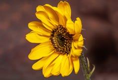 Żółty kwiatu Helianthus tuberosus zdjęcie royalty free