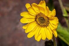 Żółty kwiatu Helianthus tuberosus zdjęcia stock