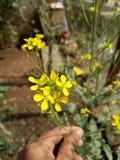 Żółty kwiatu hindusa ogród obraz stock