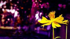 Żółty kwiatu i purpur bokeh tło Obraz Royalty Free
