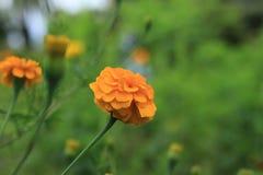 Żółty kwiatu nagietek z zielonym zamazanym tłem fotografia stock