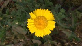 Żółty kwiatu pączek zdjęcia royalty free