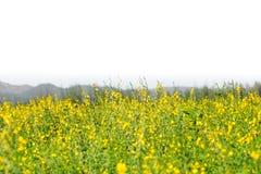 Żółty kwiatu pole z kopii przestrzenią fotografia stock