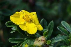 Żółty kwiatu St John ` s wort Hypericum patulum zdjęcie stock