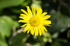 Żółty kwiatu zakończenie na zielonym tle obrazy royalty free
