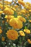 Żółty kwiatu zbliżenie w polu zdjęcie royalty free