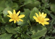Żółty kwiaty ogrodu Zdjęcia Royalty Free