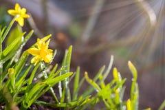 Żółty kwitnący daffodil Niski kąt sunshine Wschód słońca obrazy stock