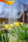 Żółty kwitnący daffodil z wodnymi kroplami słoneczny dzień Ja pada w słonecznym dniu Niski kąt sunshine Wschód słońca zdjęcia stock