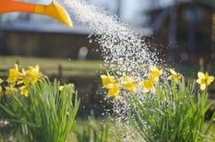 Żółty kwitnący daffodil z wodnymi kroplami słoneczny dzień Ja pada w słonecznym dniu Niski kąt sunshine Wschód słońca fotografia stock