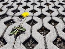 Żółty kwitnący dandelion kwiat kiełkuje między latticed betonowymi płytami w dniu Życie podbija śmierć i cywilizację d fotografia stock
